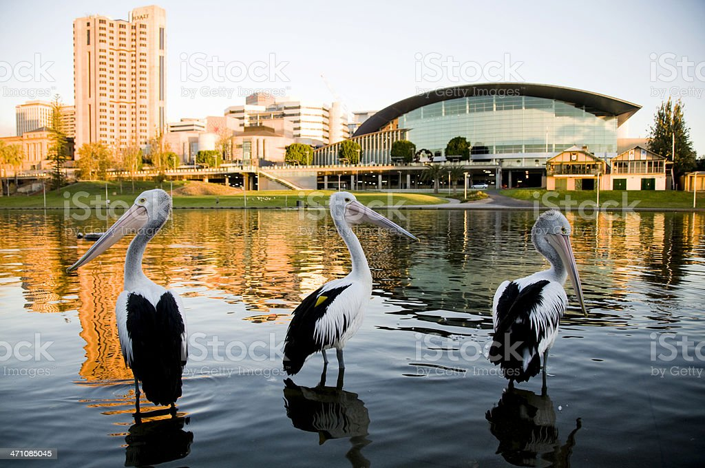 Three pelicans Torrens river Adelaide South Australia stock photo