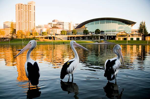 три pelicans река торренс аделаида, южная австралия - пеликан стоковые фото и изображения