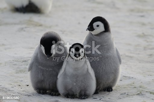 istock three penguin chicks 619632580