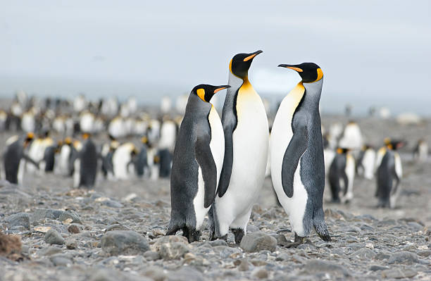 Three penguins in a meeting with many penguins in the back stock photo
