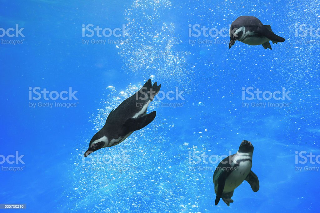 Three penguins swimming under water stock photo