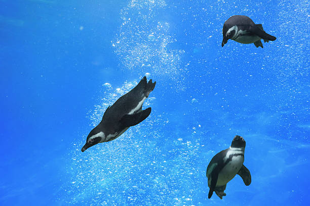 Three penguins swimming under water Three penguins swimming under water in the ocean. emperor penguin stock pictures, royalty-free photos & images