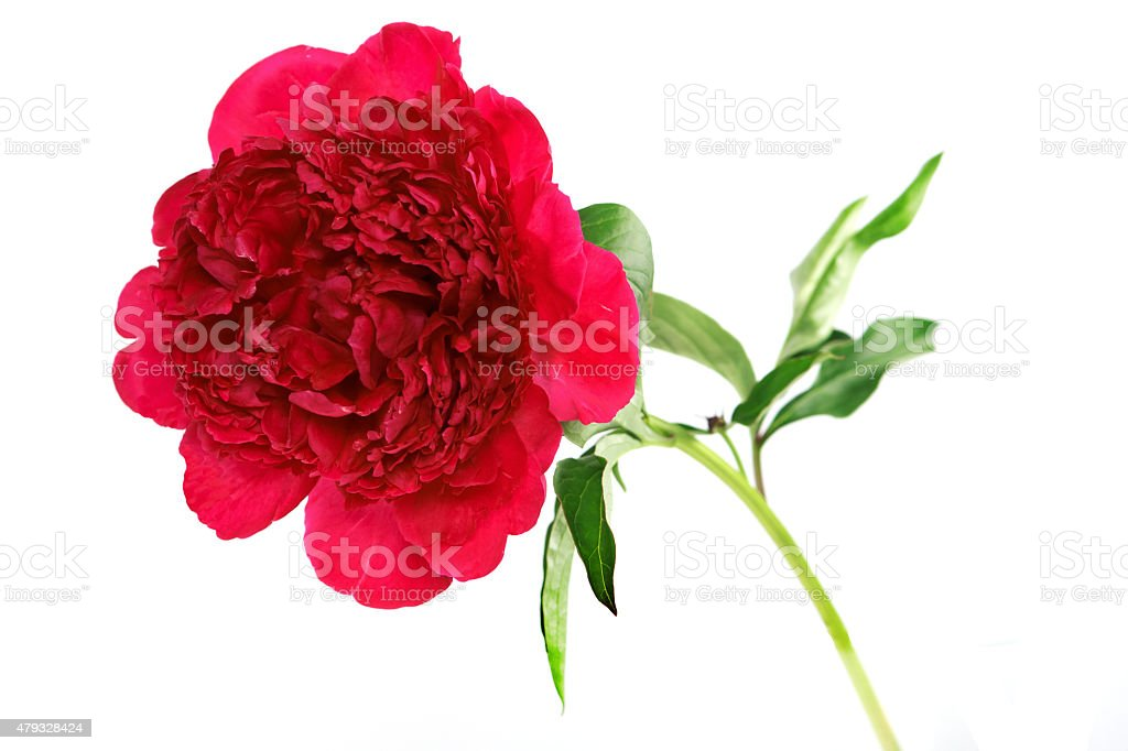 Drei Pfingstrosen-Blume, isoliert auf weiss - Lizenzfrei 2015 Stock-Foto