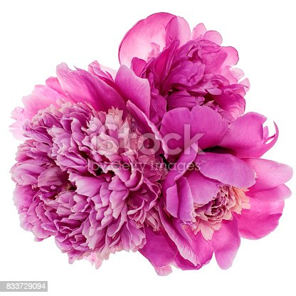Three pink peonies isolated on white background