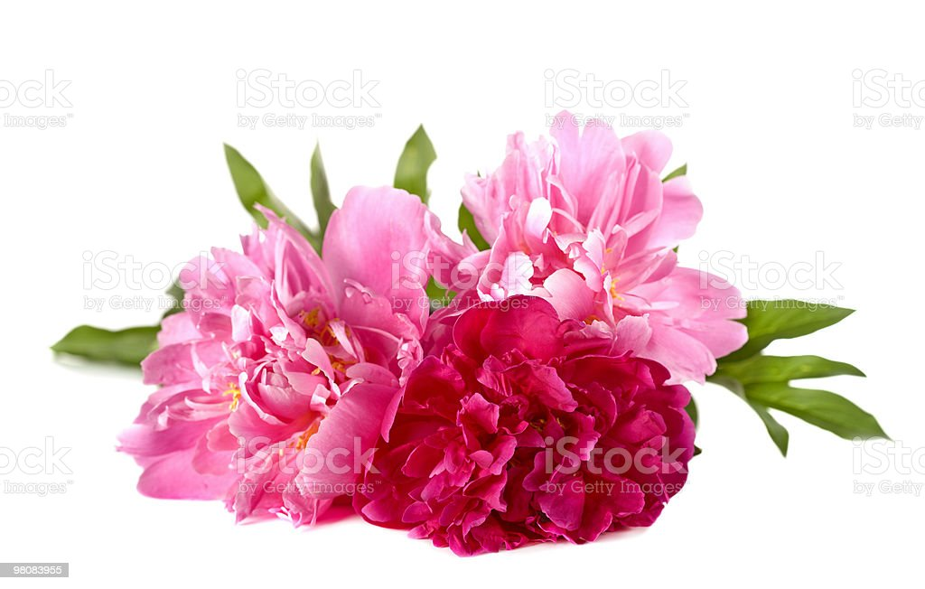 Three peonies royalty-free stock photo