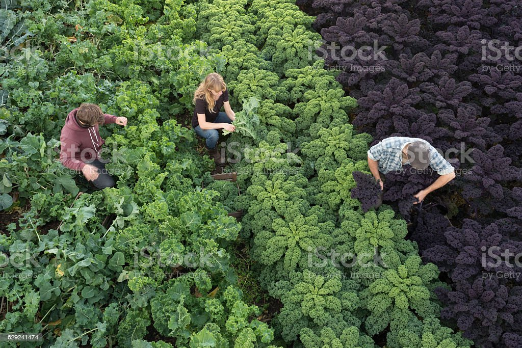 three people in field picking organic kale and vegetables Three agricultural workers pick organic produce planted neatly in rows in a field. Green and purple kale leaves and other vegetables fill the frame, looking healthy and natural Agricultural Field Stock Photo