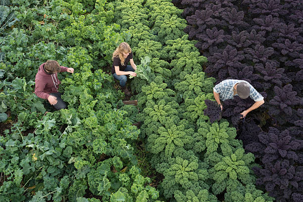 three people in field picking organic kale and vegetables - organic farm stock photos and pictures