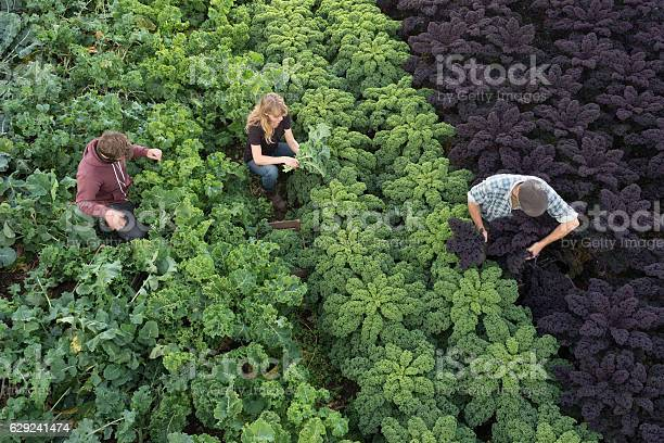 Three People In Field Picking Organic Kale And Vegetables Stock Photo - Download Image Now