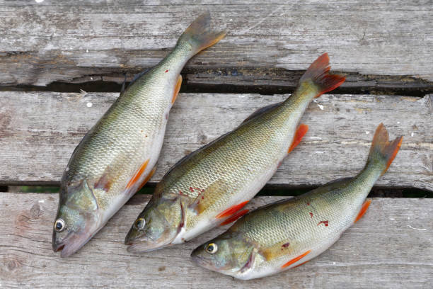 Three perch fish laying on a bridge made of gray wood Three perch fish laying on a bridge made of gray wood perch fish stock pictures, royalty-free photos & images
