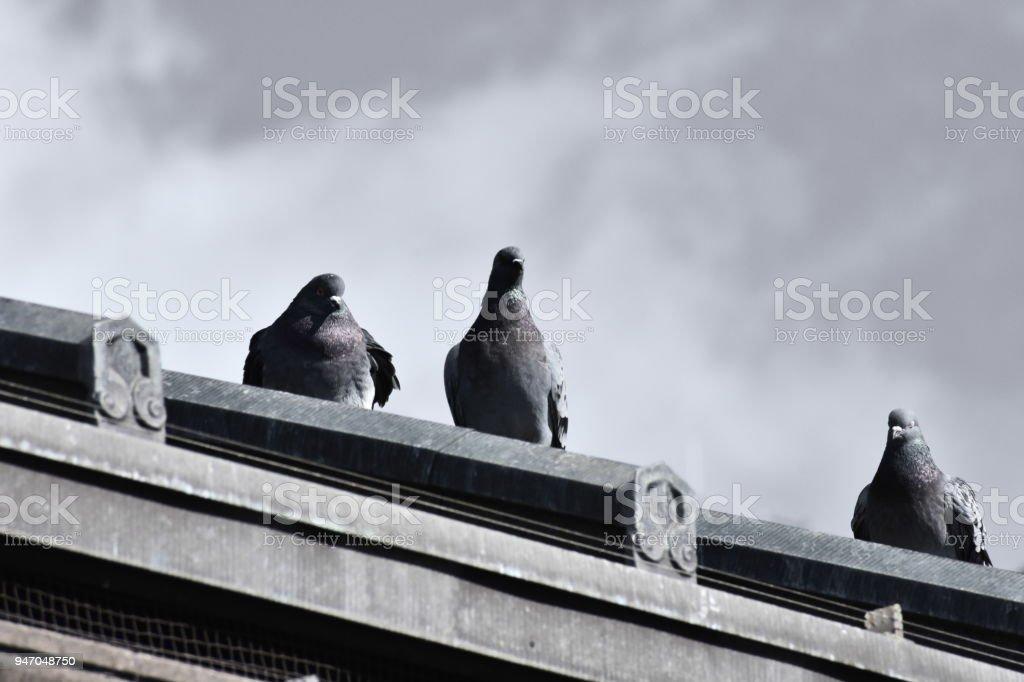 Three Pigeons in Downtown Boston stock photo