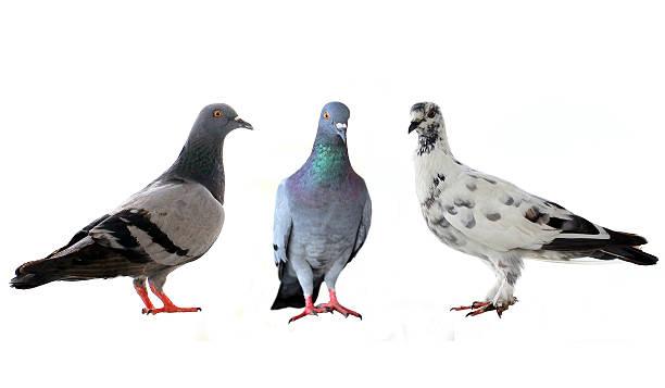 Drei Tauben – Foto
