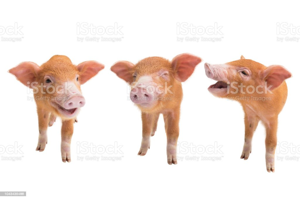 three piglets isolated on a white stock photo