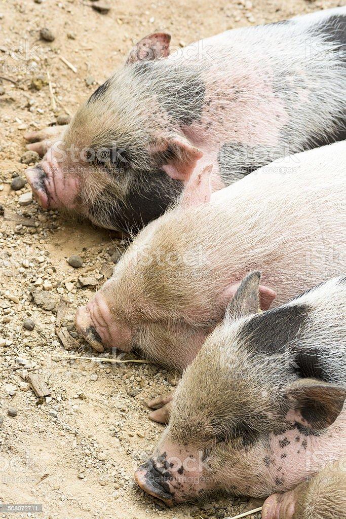 Three piglets royalty-free stock photo