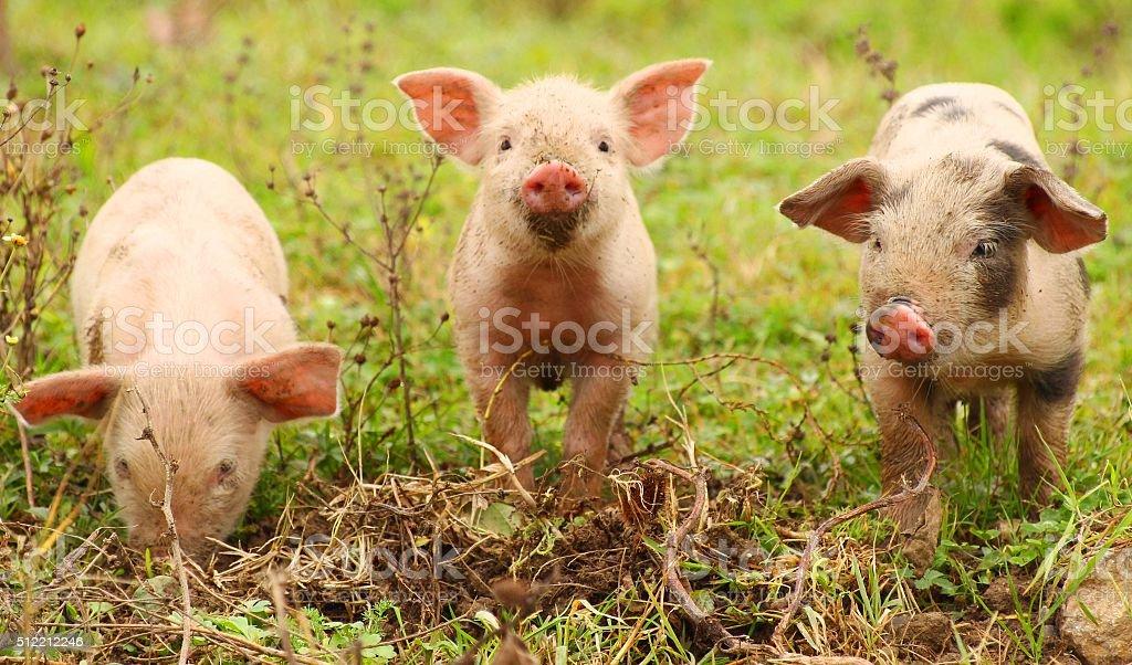 Three piglets stock photo