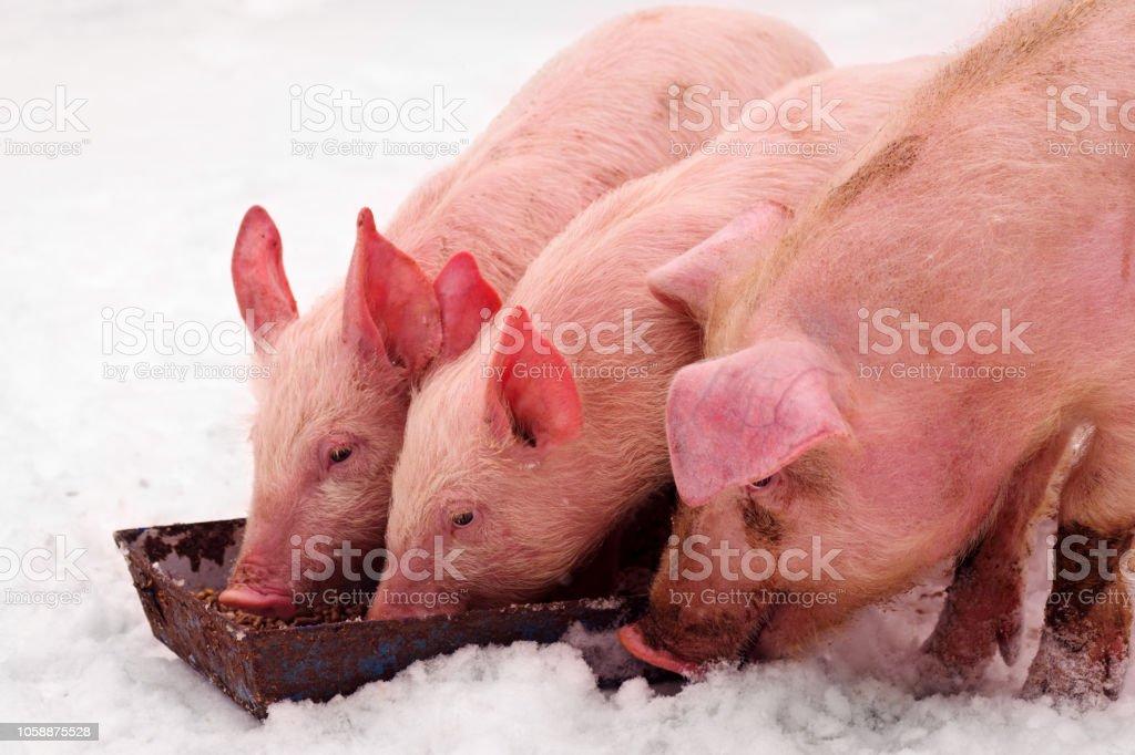 three pigs eating stock photo