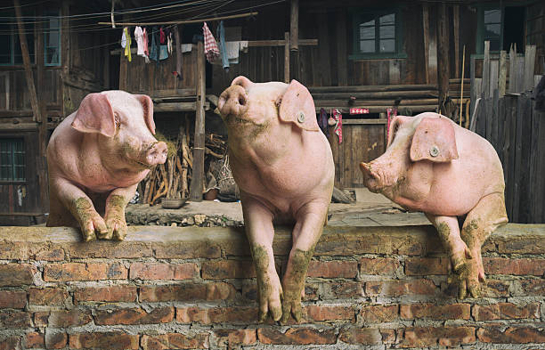 Three pigs having a chat in a remote Chinese village stock photo