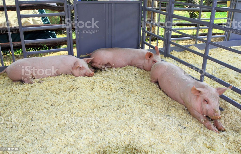 Three pigs in the pen stock photo