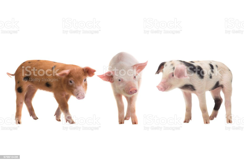 three pigs on a white background stock photo