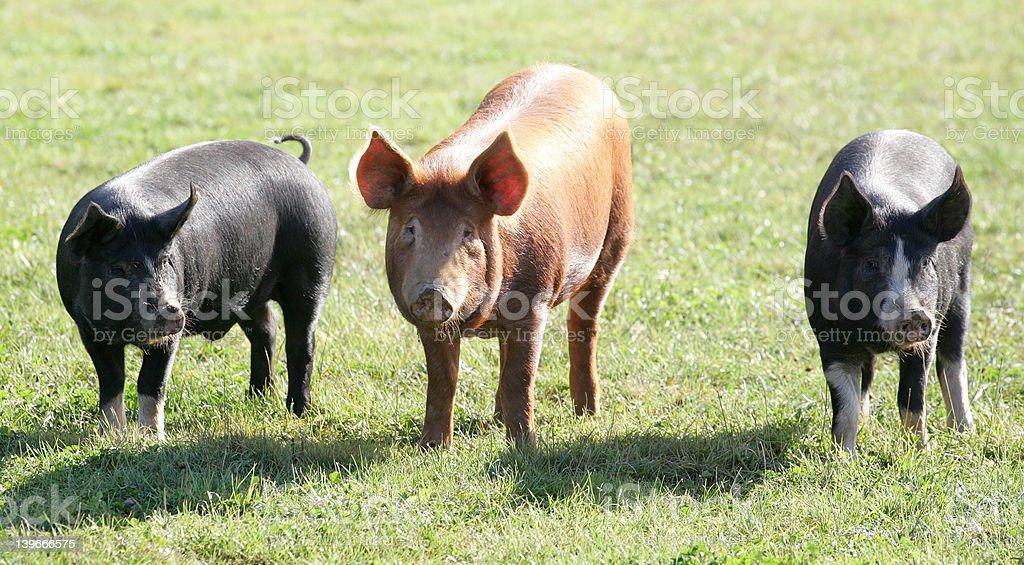 Three Pigs royalty-free stock photo