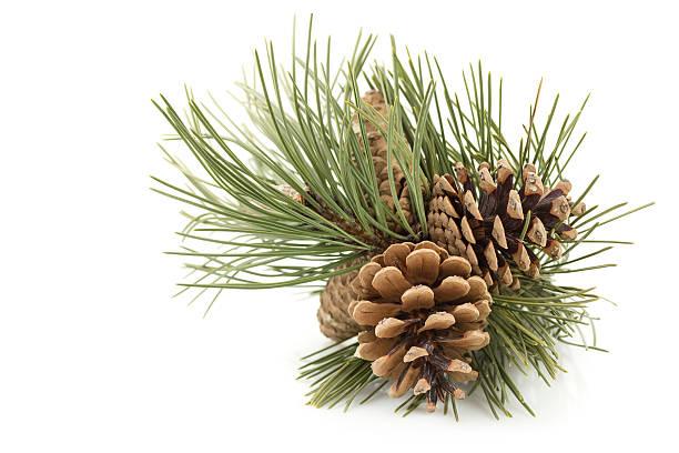 Three pine cones with green pine tree needles stock photo