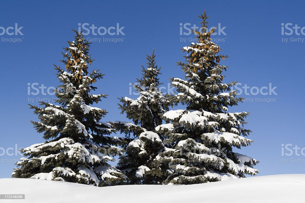 Three Pine Trees in Winter royalty-free stock photo