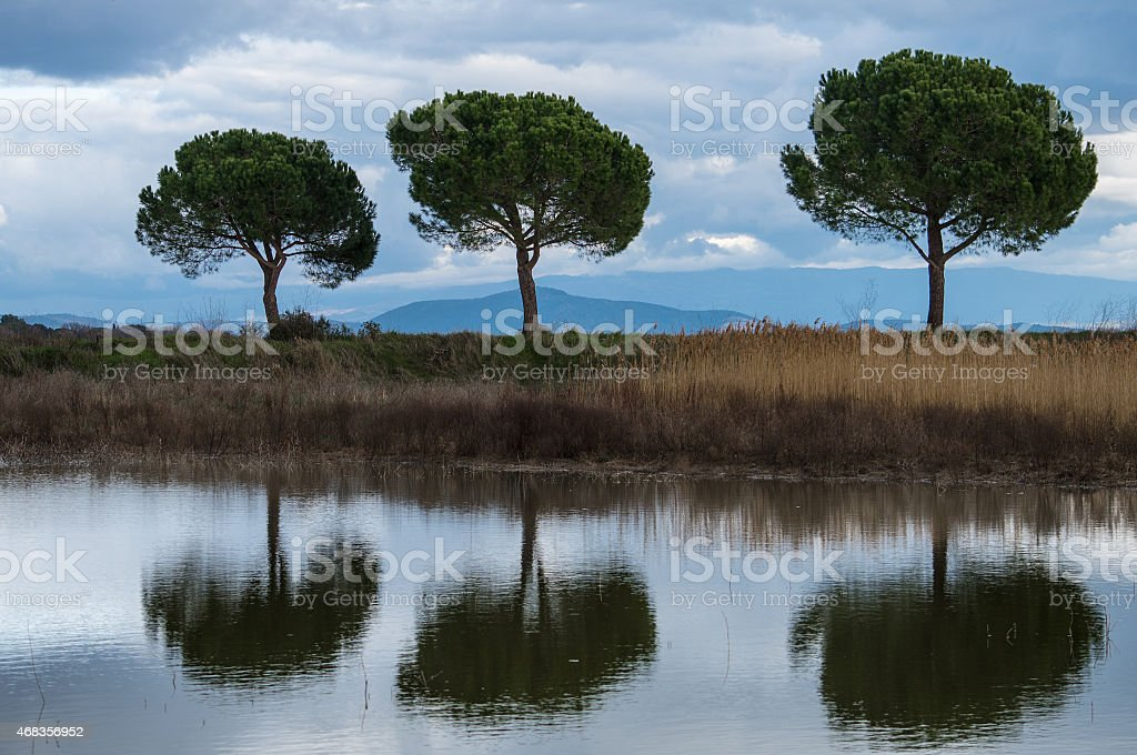 Three pines and their reflections royalty-free stock photo