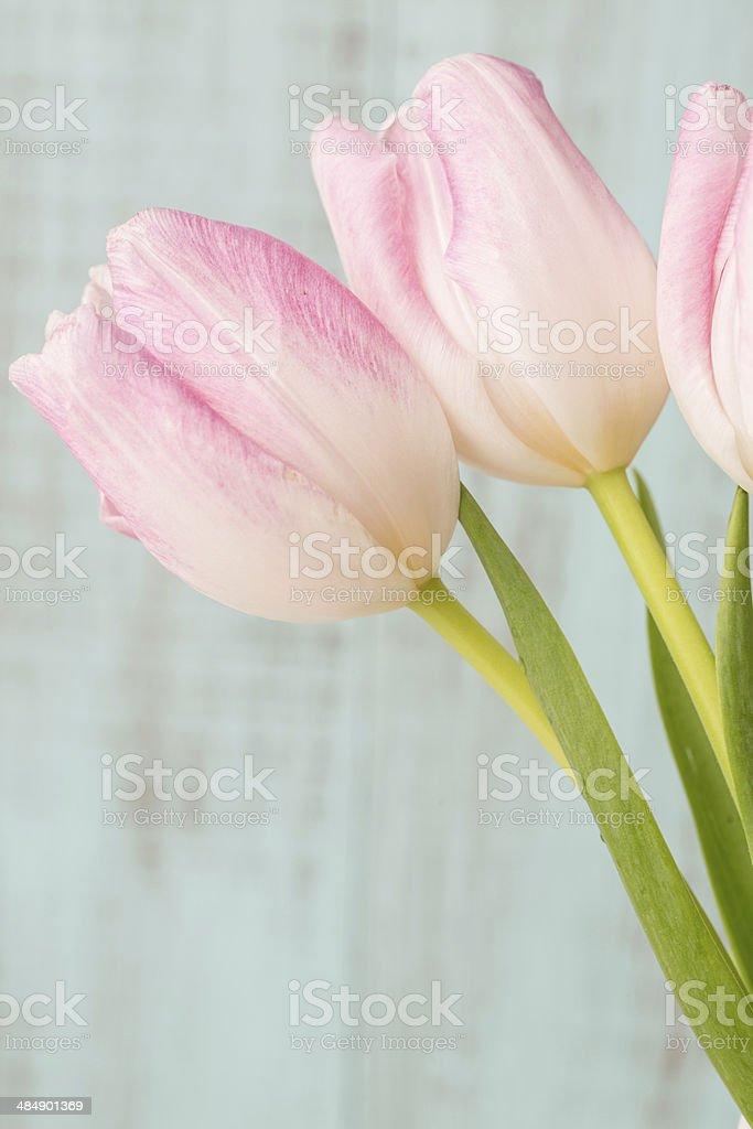 Three Pink and White Tulips on Blue Background stock photo