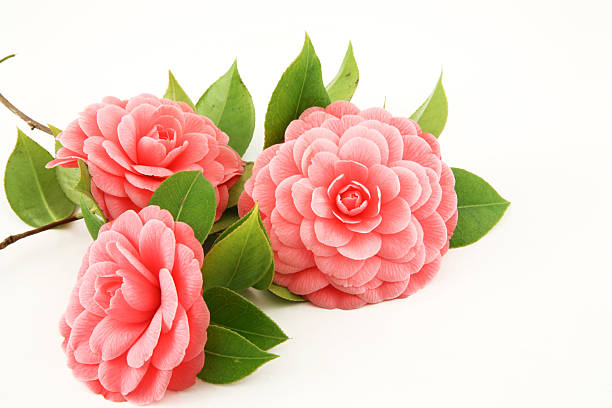 Three pink camellia flowers on a white background  stock photo