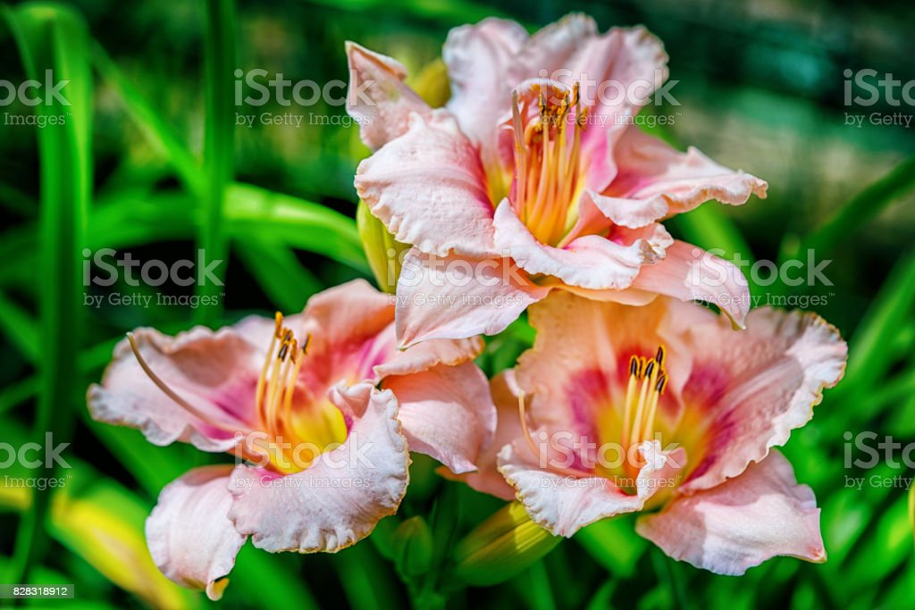 three pink hemerocallis flowers in the garden close up at the sunrise light stock photo