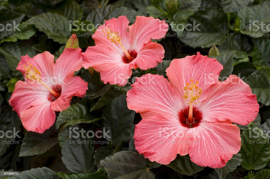 Three pink hibiscus flowers and green leaves royalty-free stock photo