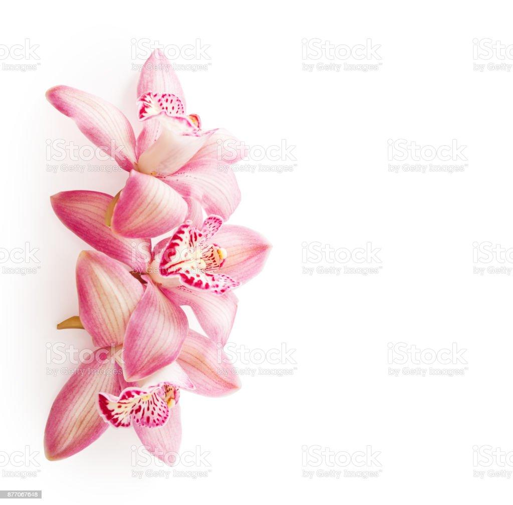 Três flores de orquídeas (Cymbidium) isoladas no fundo branco cor de rosa. - foto de acervo