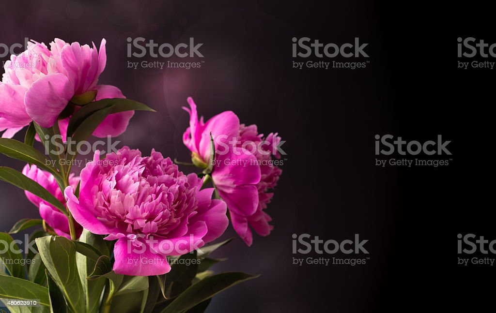 Три розовый пион цветы на темном фоне стоковое фото