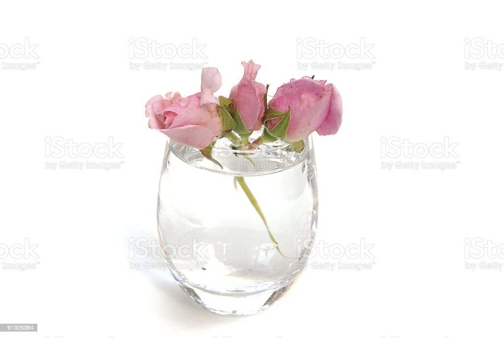 Three pink rose buds on white with drops royalty-free stock photo