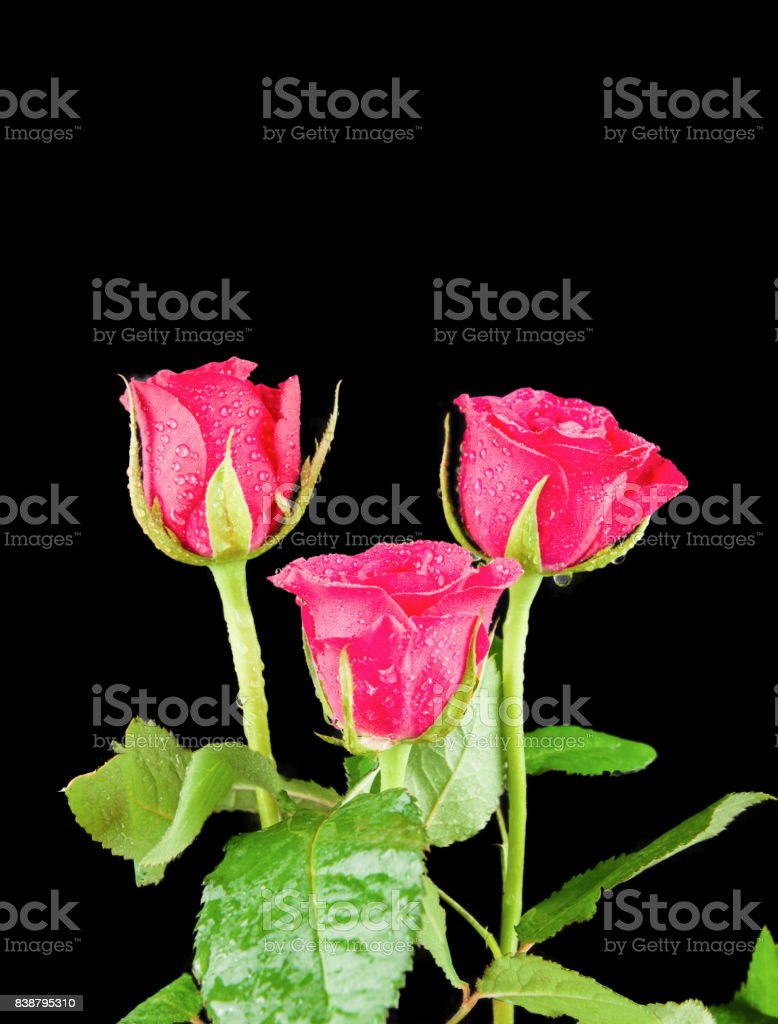 Three Pink Rose heads stems and leaves on black back ground stock photo