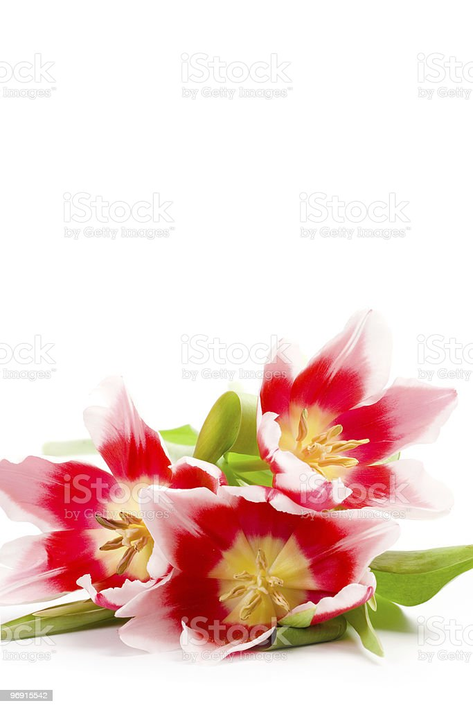 three pink tulips royalty-free stock photo