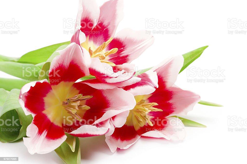 three pink tulips royalty-free stock photo