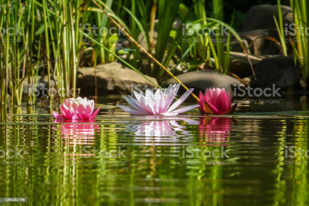 Three Pink Water Lilies Or Lotus Flower Are Reflected In The Pond
