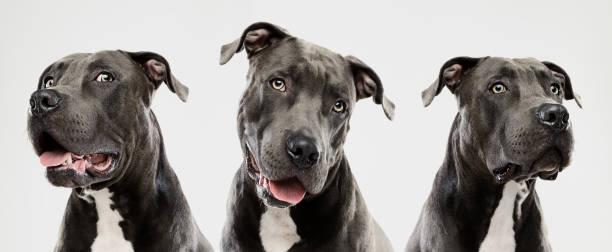 Three pit bull dogs picture id698650598?b=1&k=6&m=698650598&s=612x612&w=0&h=5msqr 5n4pwdwif4aodmdnglpavkk4v7vf1qypmxj4g=