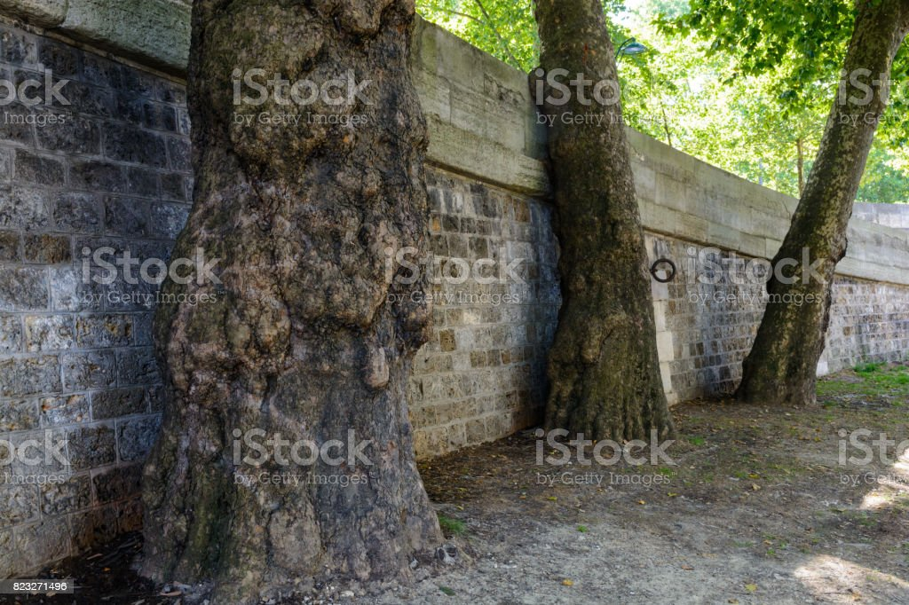 Three plane trees against a stone wall stock photo