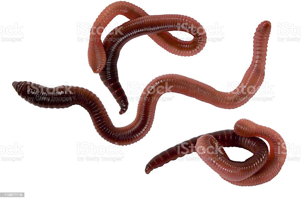 Three plump worms on a white background stock photo