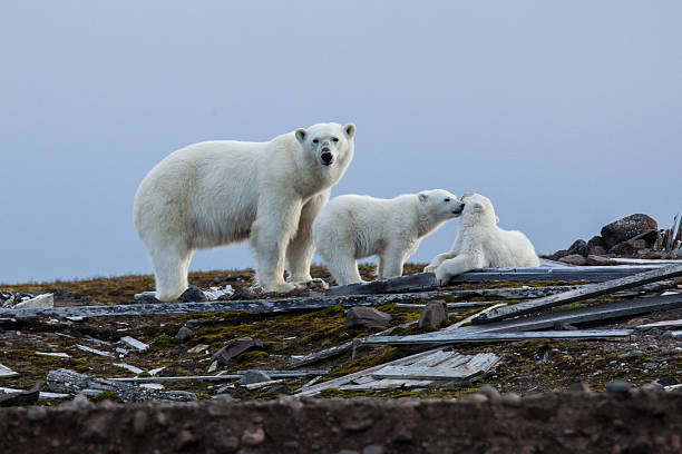 Three polar bears in the Russian arctic stock photo