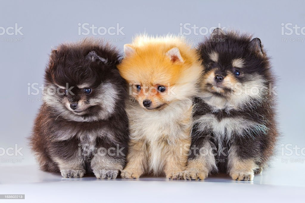 Three Pomeranian Puppies Stock Photo Download Image Now Istock