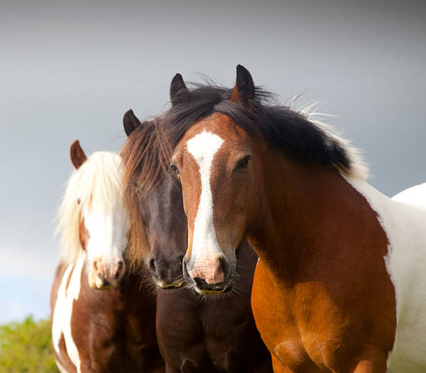 three ponies three ponies paint horse stock pictures, royalty-free photos & images