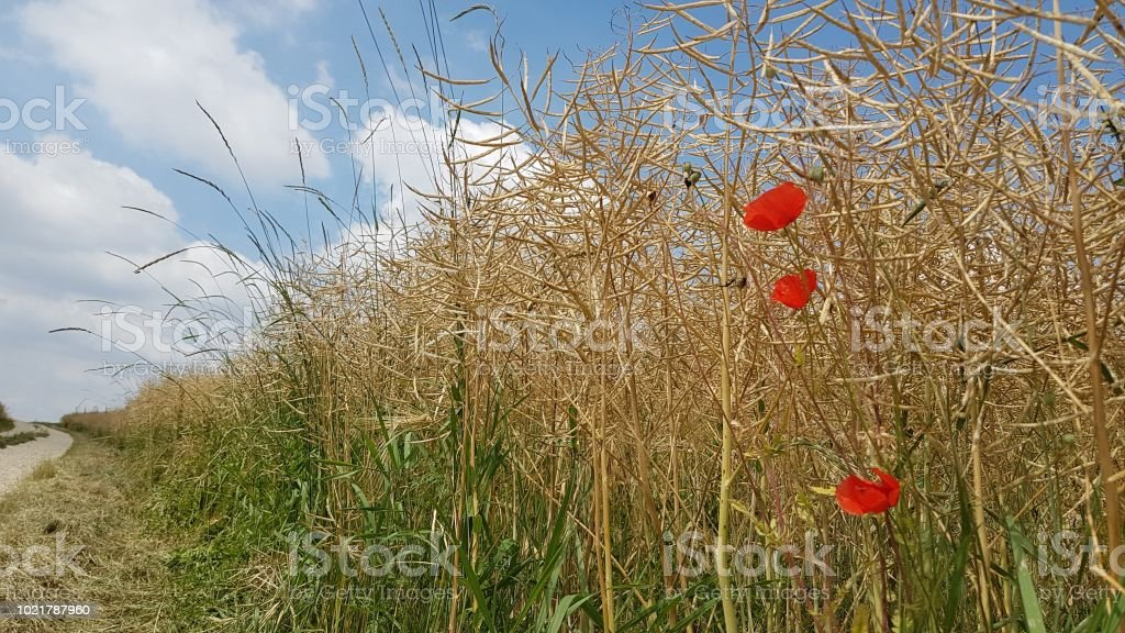 Three poppies in a cornfield stock photo