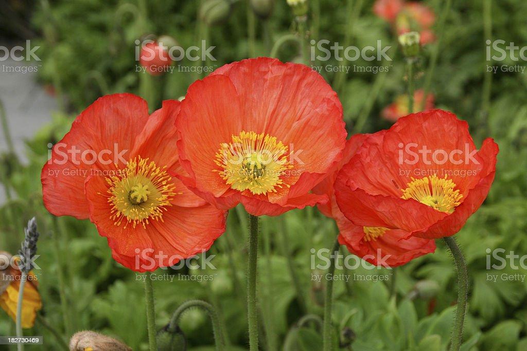 Three Poppies royalty-free stock photo