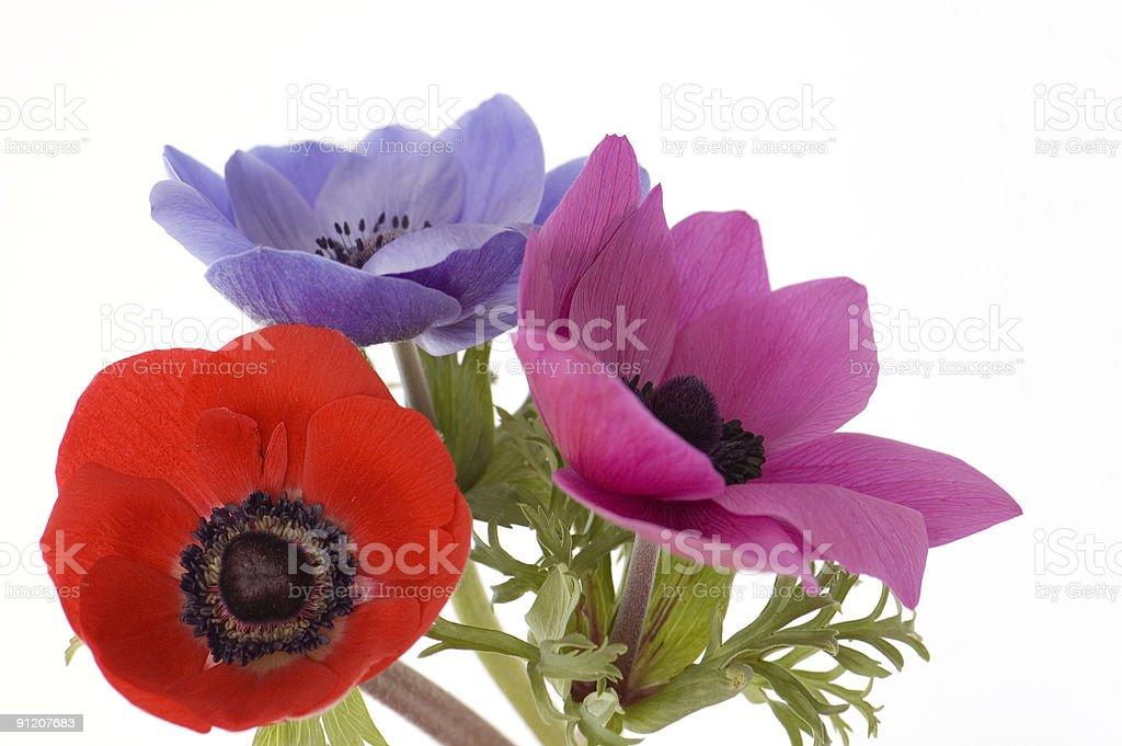 Three Poppies stock photo