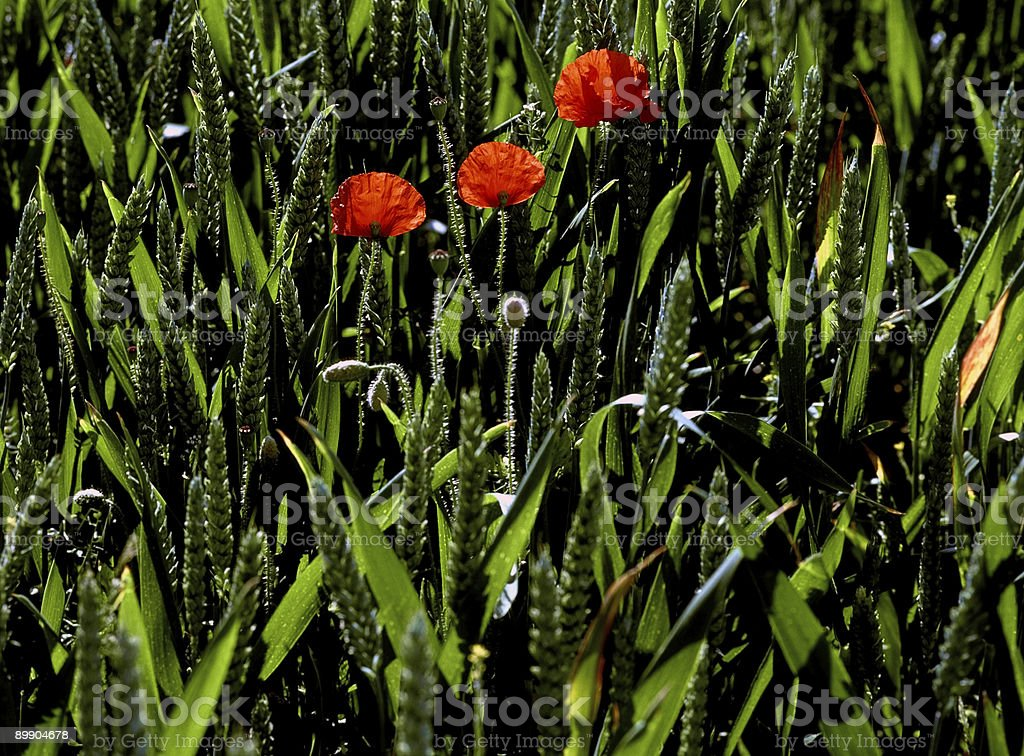 three poppies spring wheatfield royalty-free stock photo