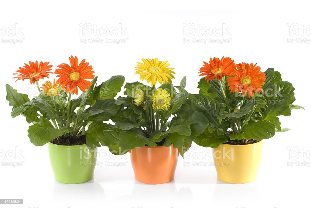 Three pots of Gerbera Daisies on a white background royalty-free stock photo
