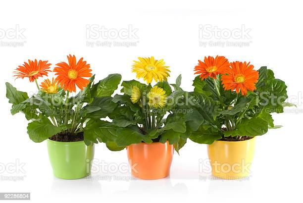 Three pots of gerbera daisies on a white background picture id92286804?b=1&k=6&m=92286804&s=612x612&h=0justhilkxazq3hbsu1lzbhk39fungc1xwrs505ipks=