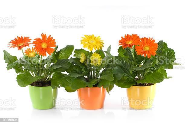 Three pots of gerbera daisies on a white background picture id92286804?b=1&k=6&m=92286804&s=612x612&h=0justhilkxazq3hbsu1lzbhk39fungc1xwrs505ipks=